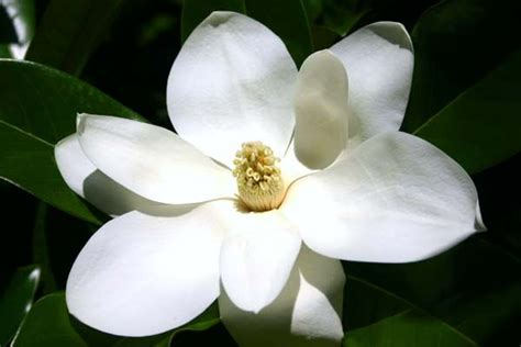 mississippi state flower magnolia tattoo idea wild