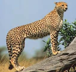 How Do Jaguars Adapt To Their Environment Cheetah Key Facts Information Pictures