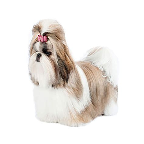 what to feed a shih tzu shih tzu find a breed petcentric by purina