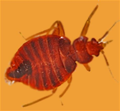 how to keep water bugs out of your house 10 best home remedies to keep bed bugs out of your house grandmas home remedies