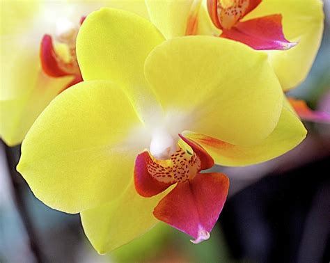 Orchid Yellow yellow phalaenopsis orchids