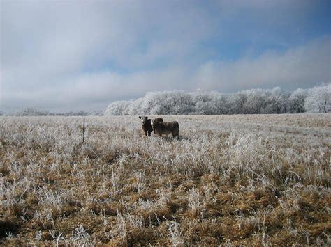 winter grazing   hay  hayless cattle
