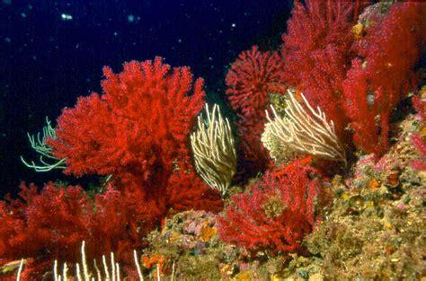 imagenes de algas pardas verdes y rojas los animales no faltan destacando las esponjas ircinia