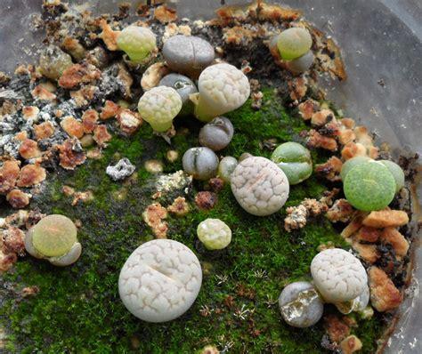 indoor plant seeds 15 lithops flowering stones seeds living stones seeds mix