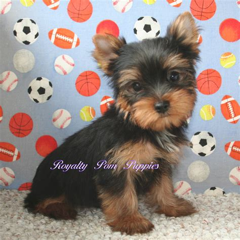 yorkie or pomeranian puppies placed royalty yorkie or pomeranian puppies louisiana usa