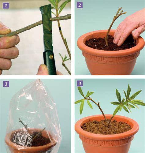 oleandro in vaso oleandro variet 224 e riproduzione fai da te in giardino
