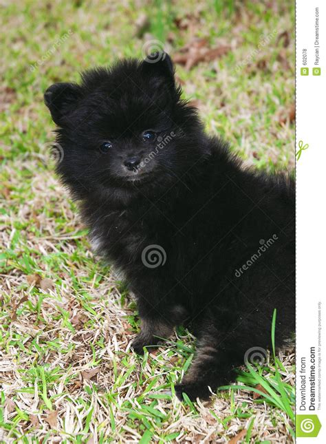 4 month pomeranian pictures pomeranian puppy 3 royalty free stock photos image 602078