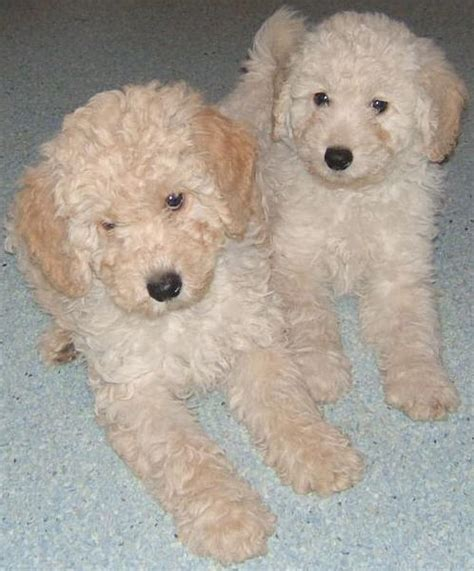 labradoodle puppies for sale in alabama pin schnoodles for sale in mobile alabama classified hoodbizorg on