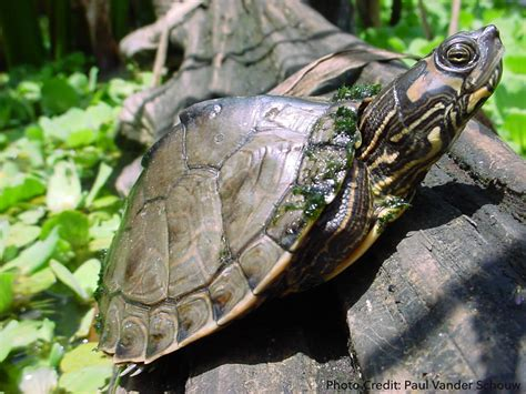 texas map turtle care graptemys pulchra history care and photo gallerytheturtleroom
