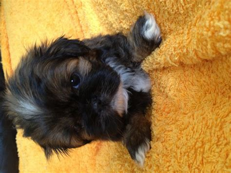 shih tzu x lhasa apso for sale shih tzu x lhasa apso sheffield south pets4homes