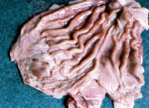 gastritis in dogs chronic atrophic gastritis