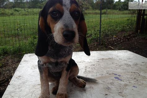 blue tick beagle puppies for sale near me beagle puppy for sale near jacksonville florida 8d1265dc 3c01