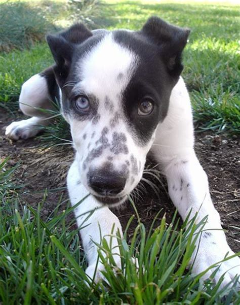 dalmatian pitbull mix puppies for sale dalmatian and husky mix breeds picture