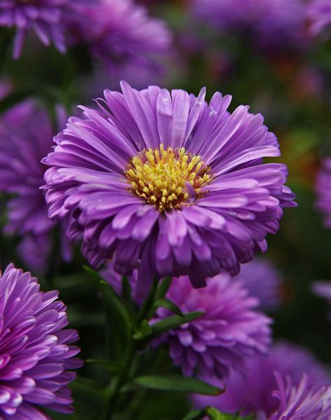 Aster Top Bl top 28 purple aster flowers purple dome new