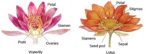 lotus flower number of petals 26 best images about anatomy of a flower on