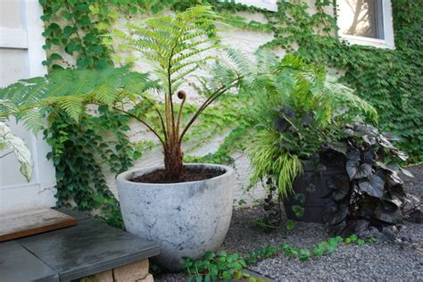 tree fern plants pinterest