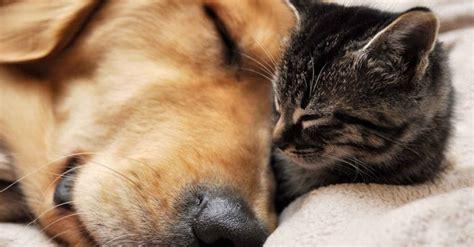 perros que duermen 8491046259 los cient 237 ficos afirman que los perros y gatos sue 241 an con sus due 241 os cuando duermen rolloid