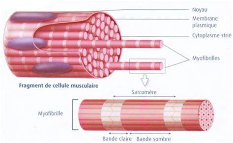 Fibre L by 1 Organisation De La Fibre Musculaire