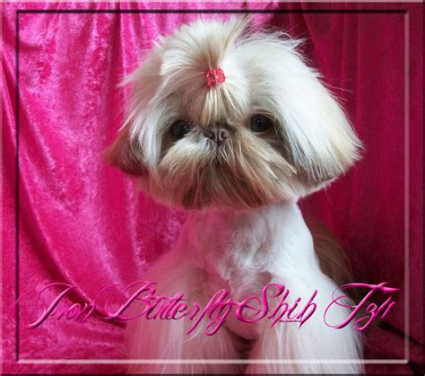 jillybean shih tzu iron butterfly imperial shih tzu tiny teacup puppies for sale quality small
