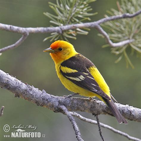 western tanager pictures western tanager images naturephoto