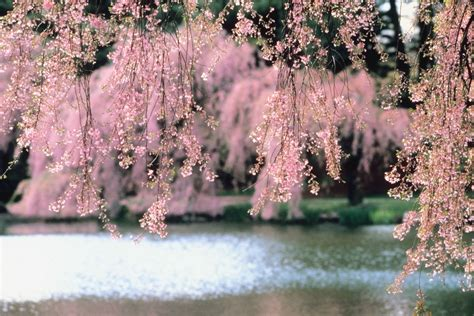 cherry tree care how to care for a weeping cherry tree home guides sf gate