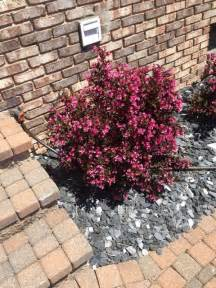 identification what is this small pink flowered shrub gardening landscaping stack exchange