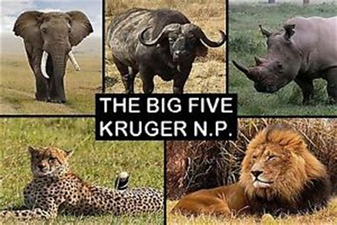 Big Picture Post Nation 5 by Souvenir Fridge Magnet Of The Big 5 In Kruger National