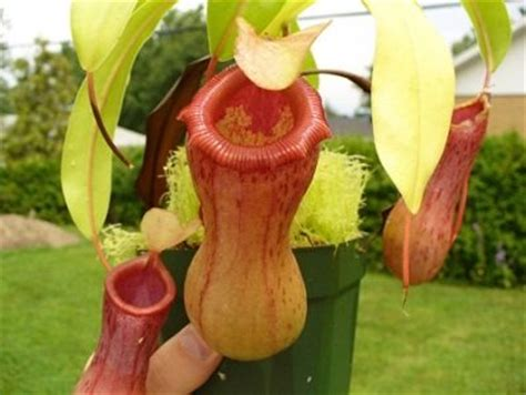 Minyak Buah Ulin Atau Minyak Buah Kayu Besi Bagus Untuk Rambut 10 tumbuhan langka di indonesia yang terancam punah