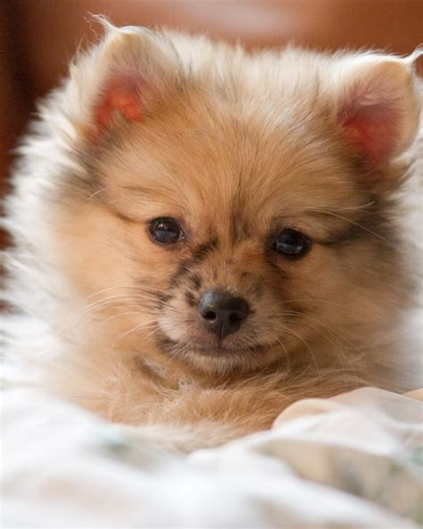 my pomeranian is wheezing 1000 images about pekingese pomeranian dogs on chihuahuas teacup