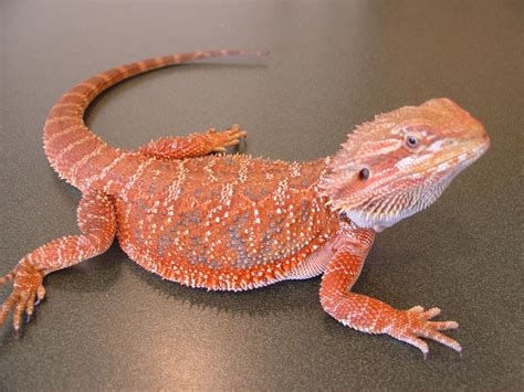 the joys of reptile keeping and awesome reptiles bearded
