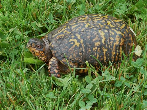 eastern box turtle images femalecelebrity