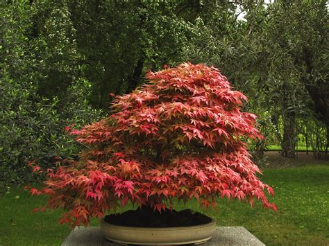 bonsai with japanese maples make a japanese maple bonsai tree japanese maple bonsai maple bonsai and japanese maple