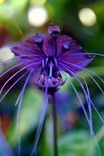 Bonita Flower Shop - bat flower the flowerbox