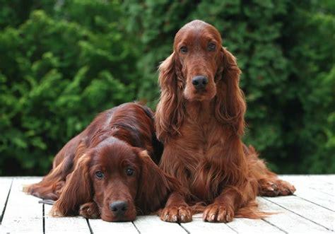 gordon setter dog food setter irlandese cerca con google cagnoni pinterest