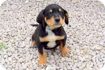coonhound rottweiler mix duke adopted puppy sullivan mo rottweiler bluetick coonhound mix