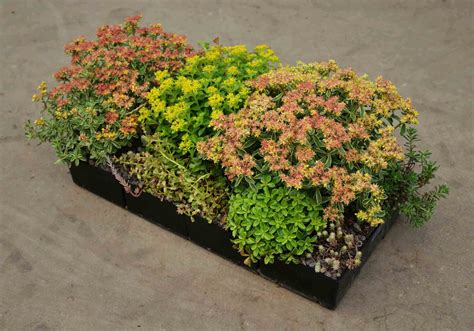 eco roofs green roof plants eco roofs llc