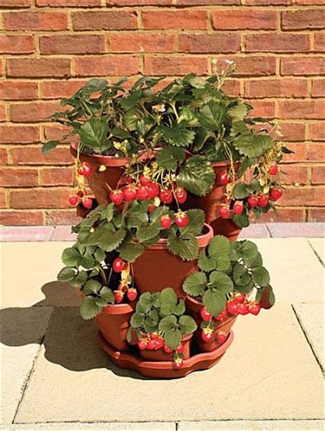 How To Plant Strawberries In A Strawberry Planter by Growing Strawberries In Containers A Collection Of Photos