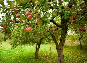 Area Of Fruit Trees - grow 5 000 worth of fruit in a small area fast growing