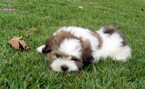 feeding a shih tzu maltese shih tzu puppies for sale rescue organizations and breeders