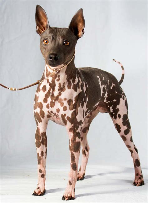american hairless terrier puppies 2 breeds join american kennel club s roster the himalayan times