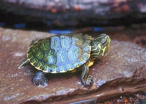 tartaruga d acqua alimentazione la cura delle tartarughe acquatiche piccola guida per