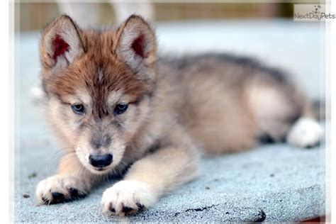 hybrid wolf puppies for sale diablo wolf hybrid puppy for sale near las vegas nevada 05e8c2ee 3841