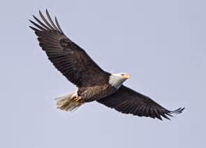 soaring eagle ben egbert galleries digital photography