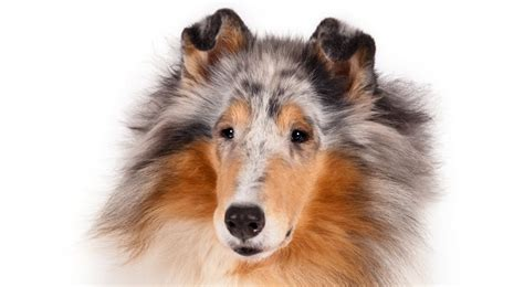 collie breed collie breed information american kennel club