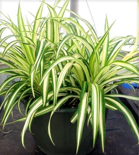 Pflanzen Ohne Licht by Welche Zimmerpflanzen Brauchen Wenig Licht