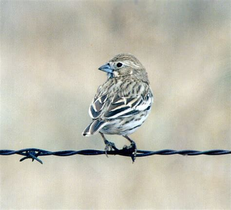 photographs of lark buntings