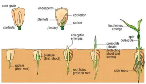 Benih Jagung Bonanza fase perkecambahan dan pertumbuhan tanaman jagung