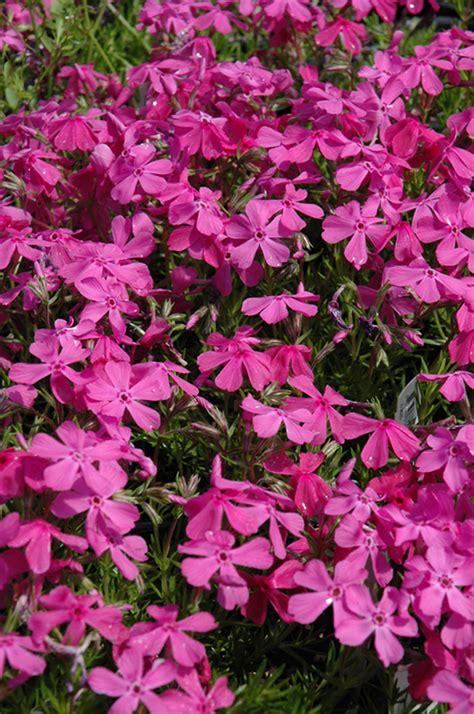drummonds pink moss phlox phlox subulata drummonds