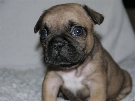bull pug puppies bulldog x pug puppies for sale only 1 left hull east of