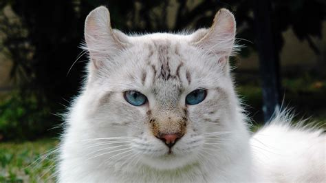 cat hybrid lynx domestic cat hybrid